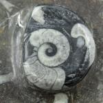 Piatto ammonite
